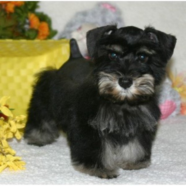 California Schnauzers Miniature Schnauzer Breeder In Merced California