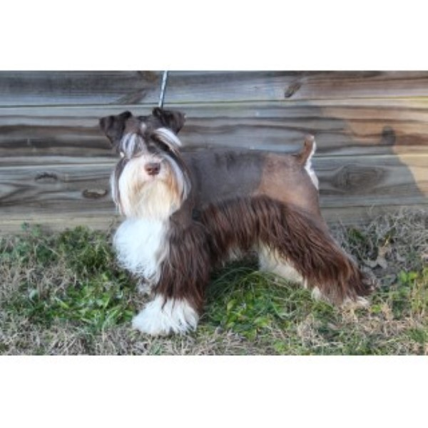 Miniature Schnauzer Breeders In Alabama