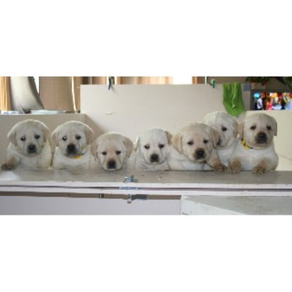 Golden Retriever breeder Mount Perry 22137