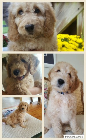 Loyalcompanionpups Goldendoodle Breeder In Congers New York