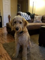 Willis Schmucker - Goldendoodle Breeder
