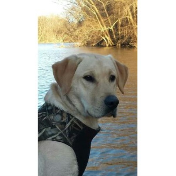 Labrador Retriever breeder Gainesville 22337