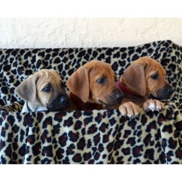 Rhodesian Ridgeback Breeders In The Usa And Canada