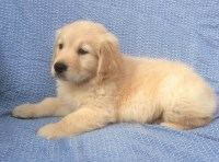 Energian Saasto—These Golden Retriever Puppies For Sale Near