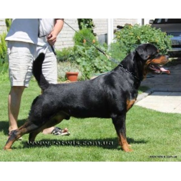 Rottweiler breeder Little Rock 14527