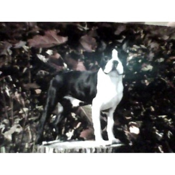 Boston Terrier Breeders In North Carolina Freedoglistings