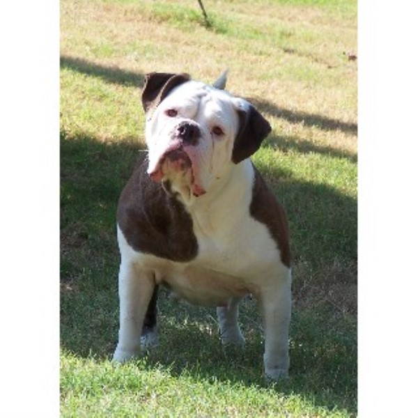 English Bulldog breeder Colt 22350