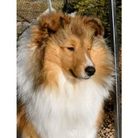 Canyonview Shelties