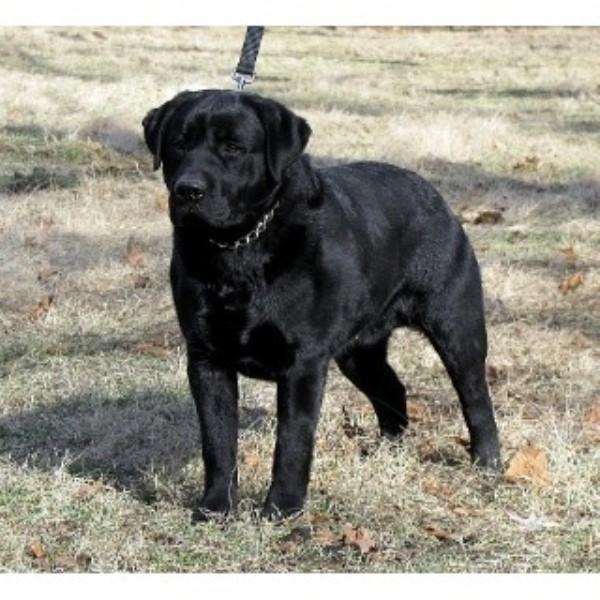 k u0026k farms labradors  labrador retriever breeder in rolla  missouri