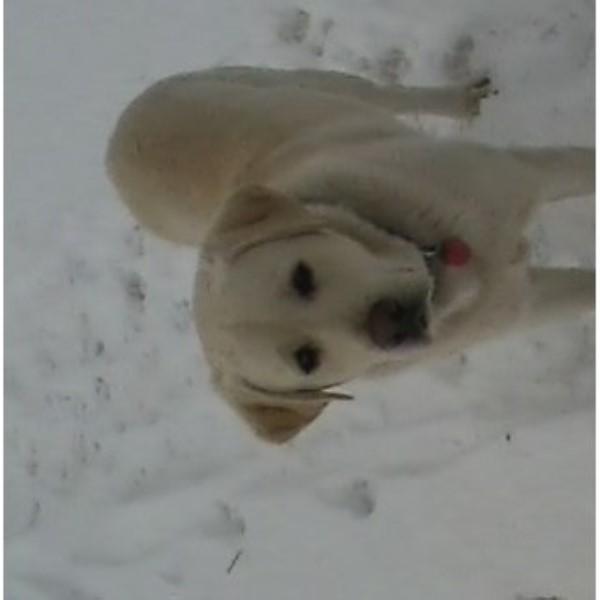 Parker Labs Labrador Retriever Breeder In Revere Minnesota