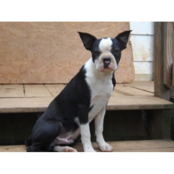 Pony Tails Kennels Boston Terrier Breeder In Woodbine