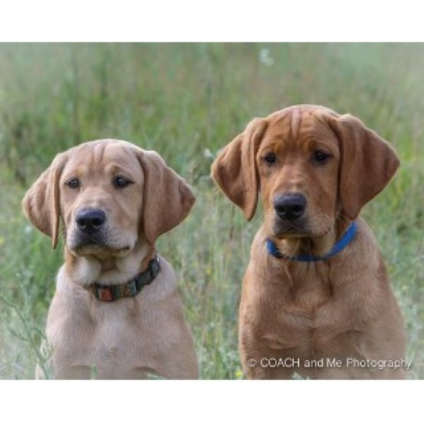 Labrador Retriever breeder Bemidji 22383