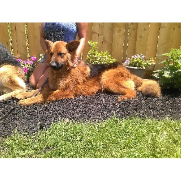 German Shepherd Dog breeder in Woodsfield