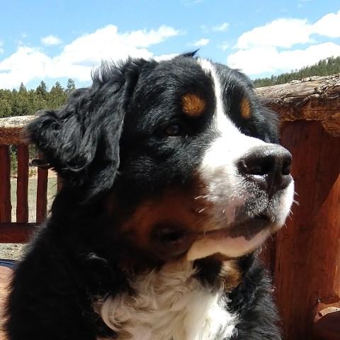Summit Bernese Bears Bernese Mountain Dog Breeder In