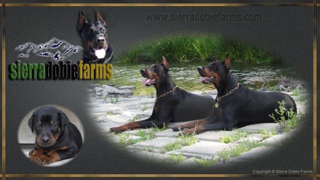Sierra Dobie Farms Doberman Pinscher Breeder In Memphis Tennessee