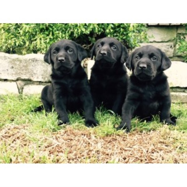 Labrador Retriever breeder Temple 25073