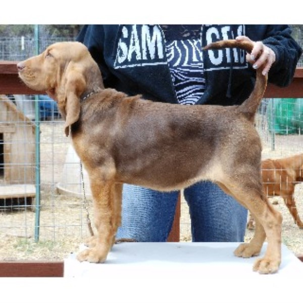 Davidson Kennels Bloodhound Breeder In Florissant Colorado