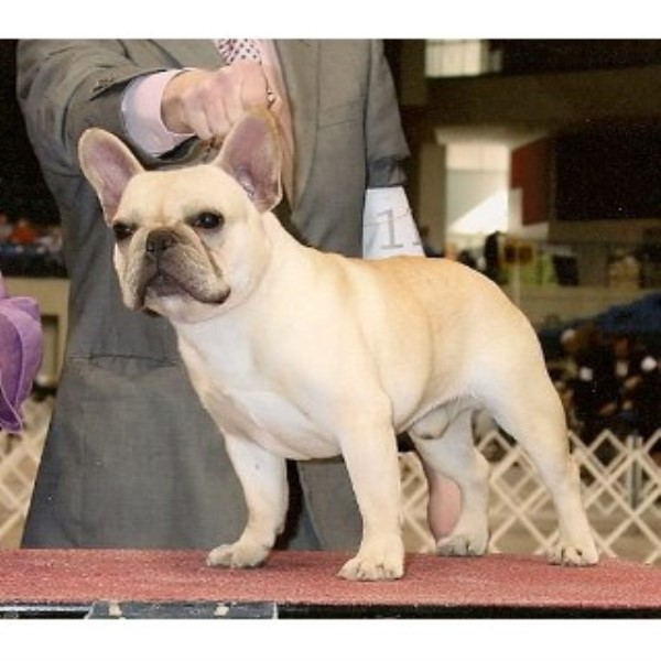 Must Be Frenchies French Bulldog Breeder In West Plains Missouri