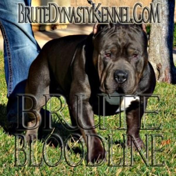 Brute Dynasty Kennel, American Pit Bull Terrier Breeder in