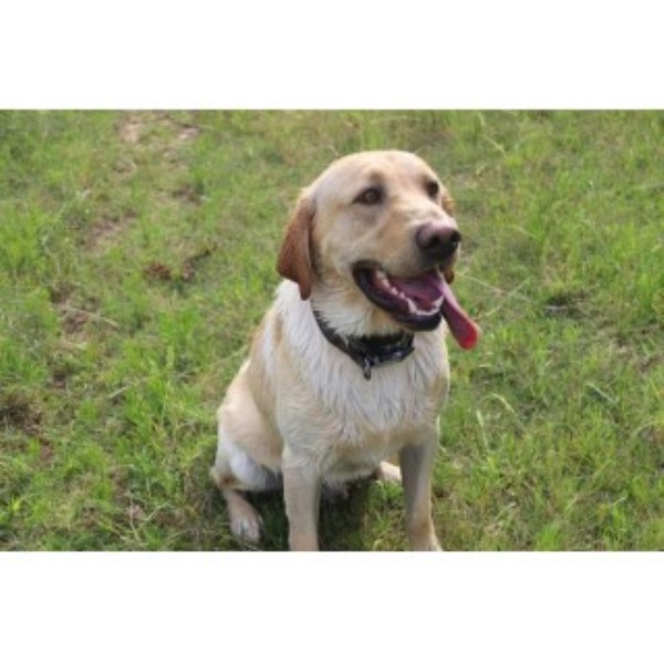 Duck Master Dogs Labrador Retriever Breeder In Ada Oklahoma