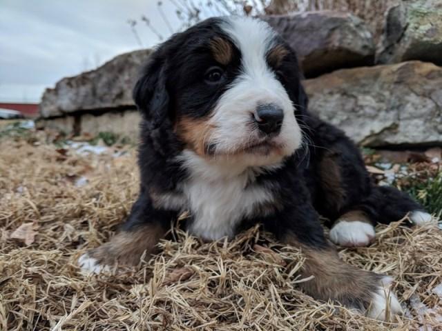 Kelsay Kennel Bernese Mountain Dog Breeder In California