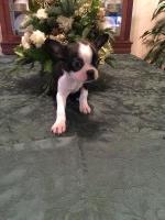 Boston Terrier Breeders In Texas Page 1