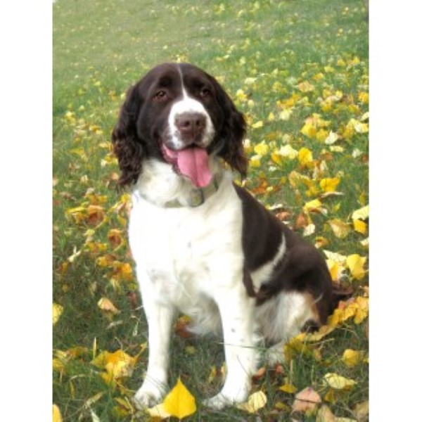 Mountian View Springers, English Springer Spaniel Breeder in