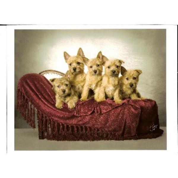 Janora Norwich Terriers, Norwich Terrier Breeder in Brooklyn, Michigan