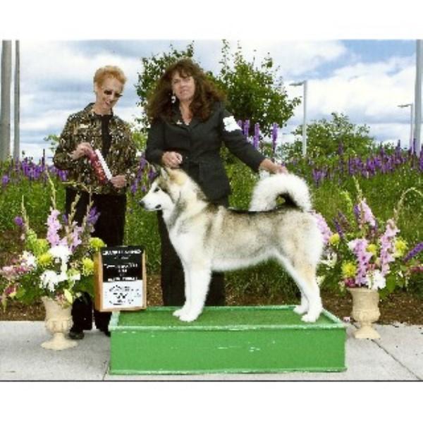 dreamekatcher kennels  alaskan malamute breeder in spencer  wisconsin