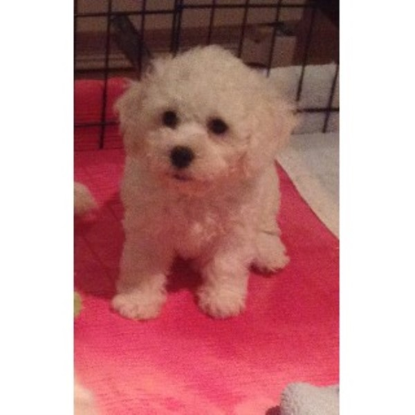 Bichon Lovers, Bichon Frise Breeder in Langton, Ontario
