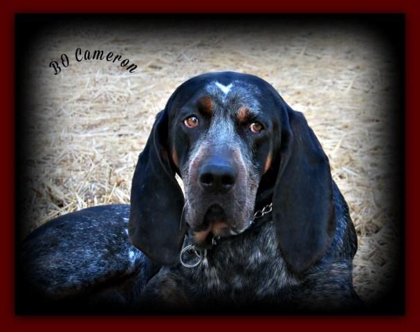 Bluestone Bluetick S Bluetick Coonhound Breeder In