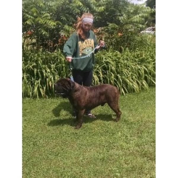 Hamilton's Top Dog Bullmastiffs, Bullmastiff Breeder in ...