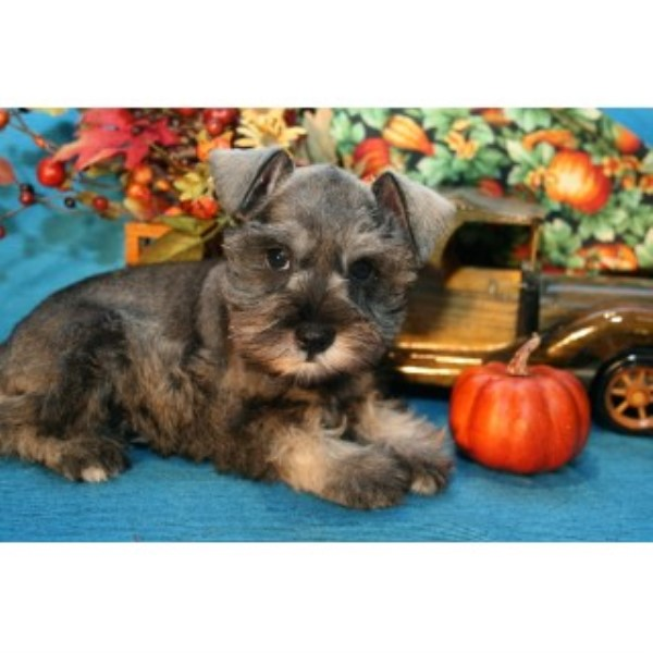 Twilight Run Kennels Miniature Schnauzer Breeder In Farmersville Texas