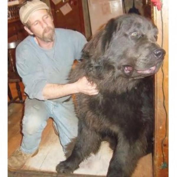 Dogs Newfoundland Adoption