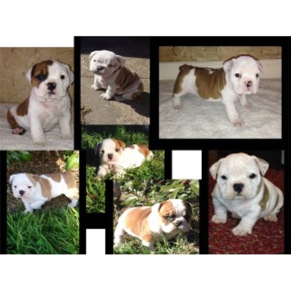 Wellhead Bullies English Bulldog Breeder In Waco Texas