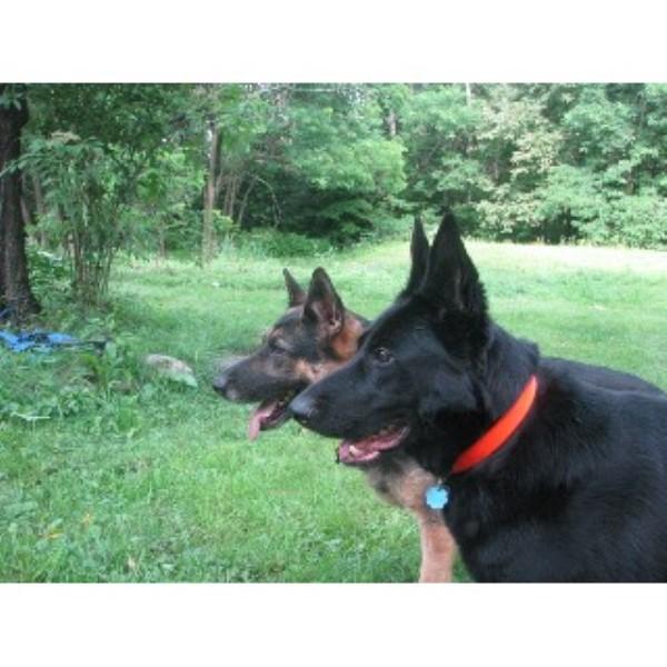 German Shepherd Dog breeder in New Hampshire
