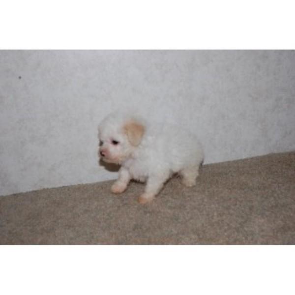 Tiny Designer Puppies, Yorkipoo Breeder in Austin, Texas