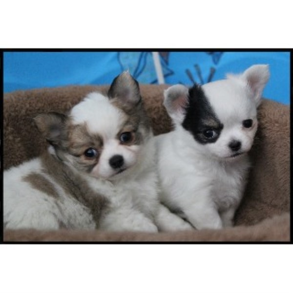 chihuahuas for sale in all states all chihuahua breeders more ...
