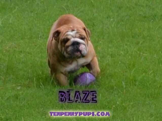 Tenpennypups, English Bulldog Breeder in Lakeland, Florida Lakeland Terrier Rescue Texas