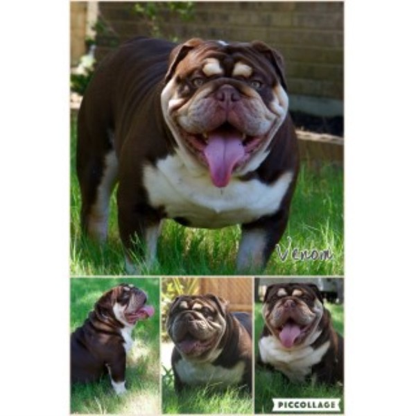 English Bulldog breeder Salado 20889