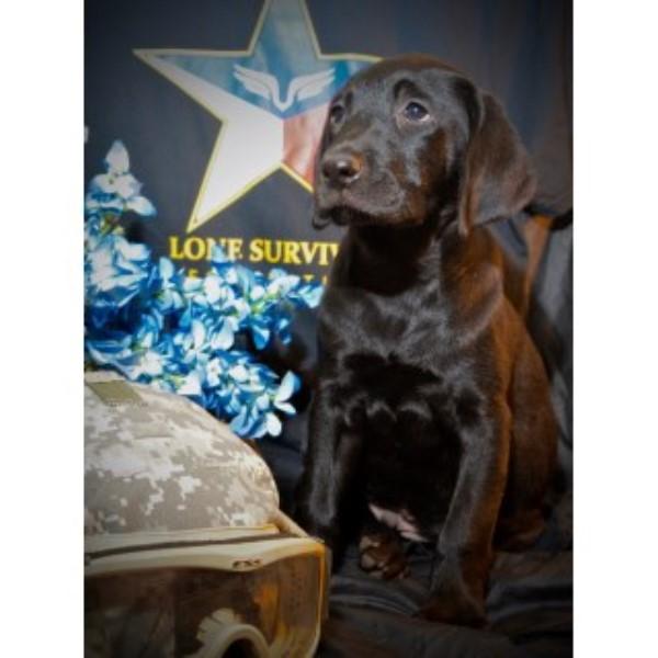 Top Dog Training USA, Labrador