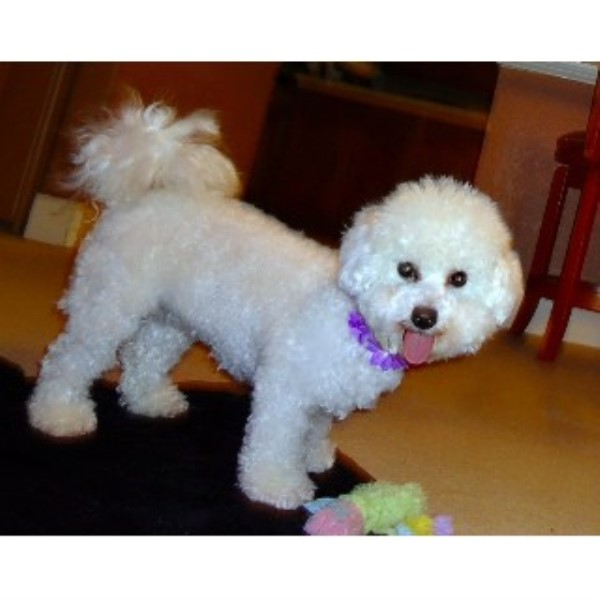 World Class Bichons, Bichon Frise Breeder in Little Elm, Texas