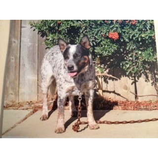 Australian Cattle Dog breeder Anza 16396