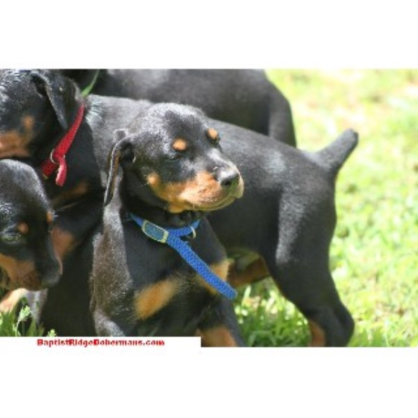 Baptist Ridge Dobermans