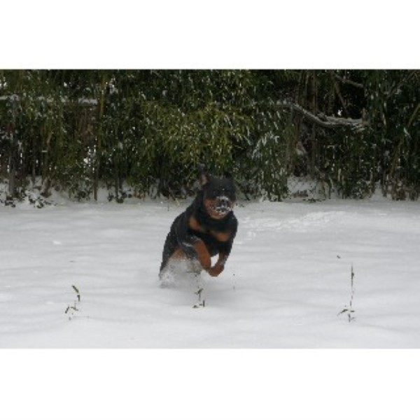 Alessi Rottweiler, Rottweiler Breeder in Newport News, Virginia