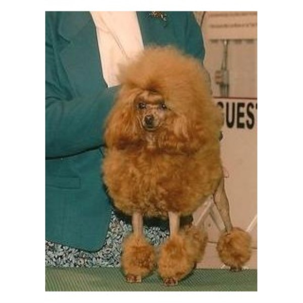 Poodle Miniature breeder Haines City 22436