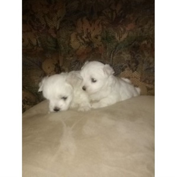maltese breeders in the usa and canada