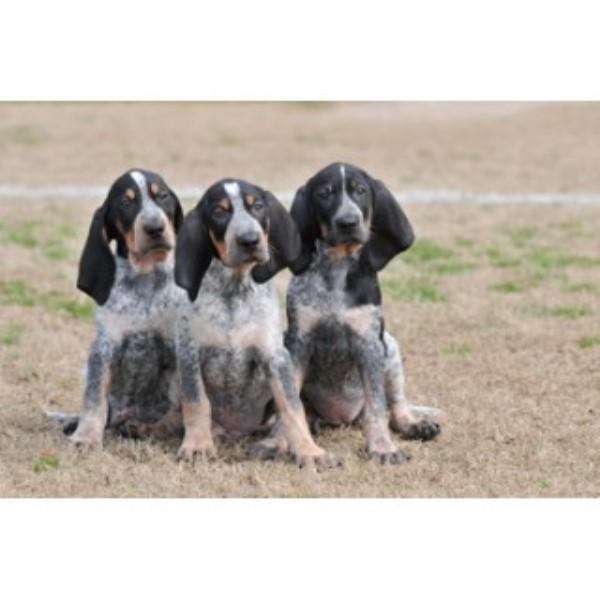 Evenstar Hounds Bluetick Coonhound Breeder In Ohatchee Alabama