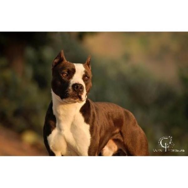 Sunrise Kennels Apbt American Pit Bull Terrier Breeder In San Diego California