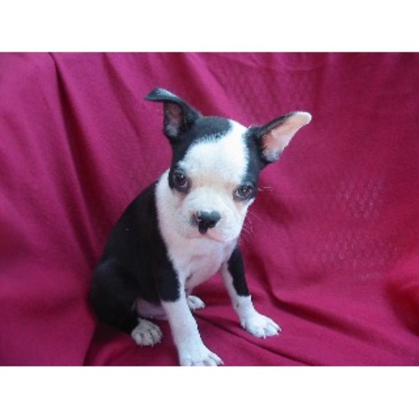 Pony Tails Kennels Boston Terrier Breeder In Woodbine Maryland